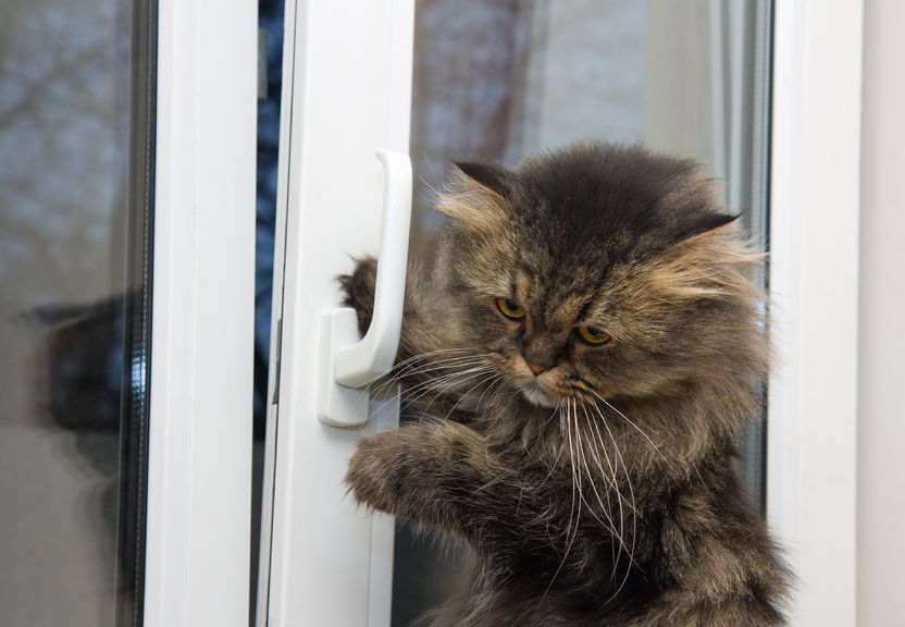 17710021 - cute angry domestic cat opening a window